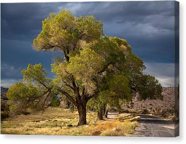 Tree In Nevada Canvas Print