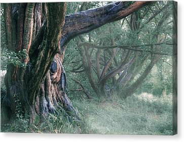 Faries Canvas Print - Tree In The Fog by Joana Kruse
