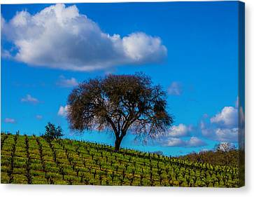 Tree In Vineyard With Clouds Canvas Print by Garry Gay
