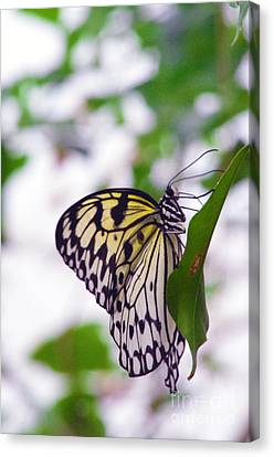 Tree Nymphsglass Wing Butterfly Canvas Print