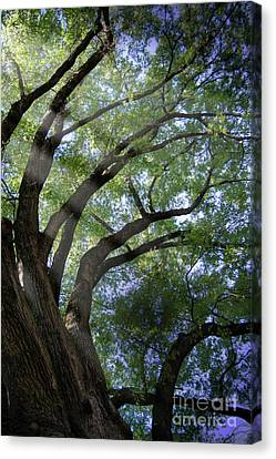 Tree Rays Canvas Print by Brian Jones