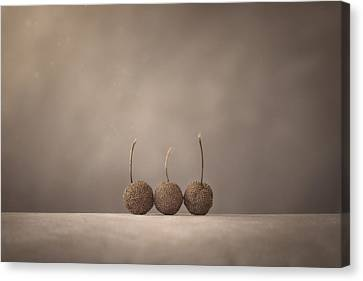 Tree Seed Pods Canvas Print by Scott Norris