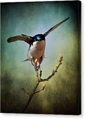 Tree Swallow 2 Canvas Print by Al  Mueller