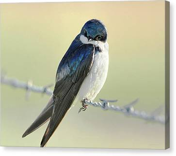 Canvas Print featuring the photograph Tree Swallow by Jennie Marie Schell