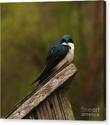 Tree Swallow Canvas Print by Marilyn Smith