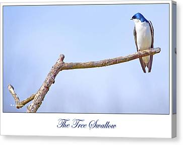 Tree Swallow On Branch Canvas Print