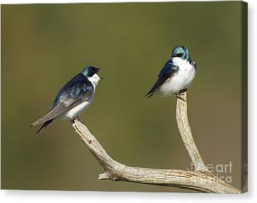Tree Swallow Pair Canvas Print