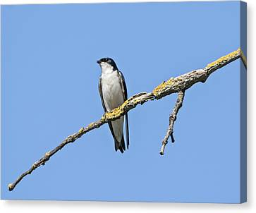 Tree Swallow Perched Canvas Print