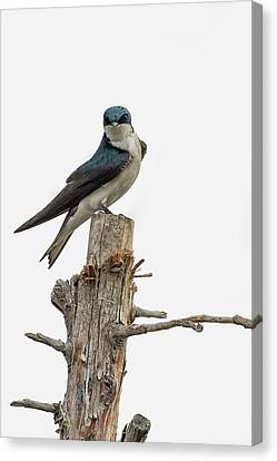 Tree Swallow With Flair Canvas Print by Belinda Greb
