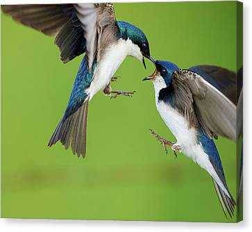 Tree Swallows Fighting Canvas Print