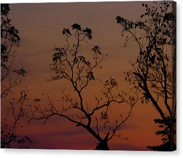 Tree Top After Sunset Canvas Print by Donald C Morgan