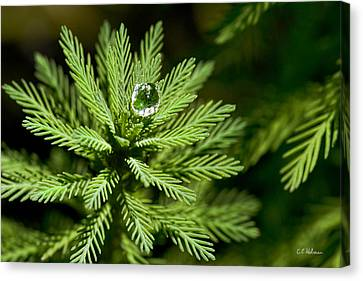 Tree Top Dew Drop Canvas Print by Christopher Holmes