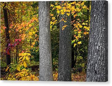 Tree Trunks In Autumn Canvas Print by Andrew Kazmierski