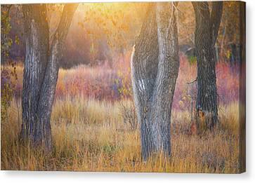 Darren Canvas Print - Tree Trunks In The Sunset Light by Darren White