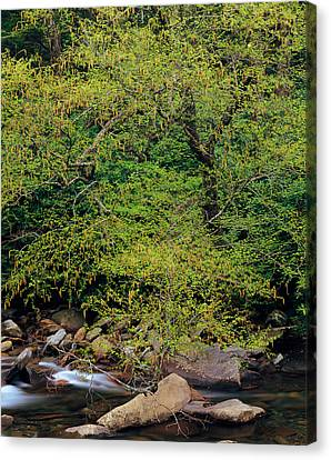 Trees Along West Prong Of Little Pigeon Canvas Print by Panoramic Images