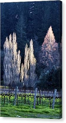 Trees In Fall Napa Valley Canvas Print