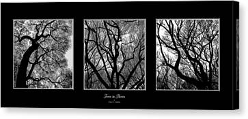 Trees In Threes Canvas Print by Diane C Nicholson
