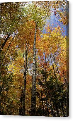 Trees On The Lincoln Woods Trail Canvas Print