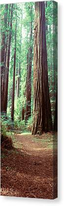 Trees Redwood St Park Humbolt Co Ca Usa Canvas Print by Panoramic Images