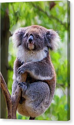 Treetop Koala Canvas Print by Mike  Dawson