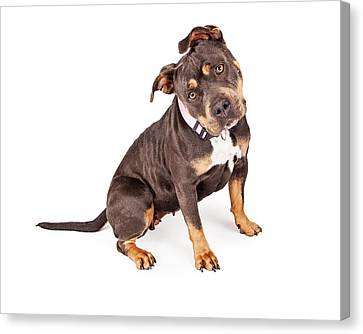 Tri Color Pit Bull Dog Tilting Head Canvas Print by Susan Schmitz