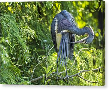 Canvas Print featuring the photograph Tri-colored Heron Grooming by Paula Porterfield-Izzo