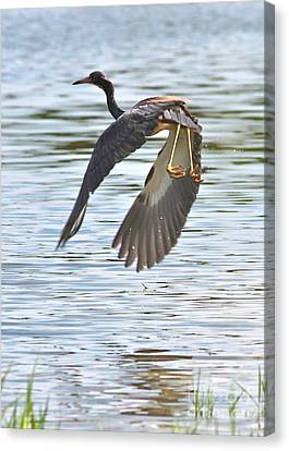 Tri Colored Heron Over The Pond Canvas Print by Carol Groenen