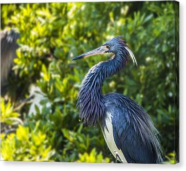 Canvas Print featuring the photograph Tri-colored Heron Plumage by Paula Porterfield-Izzo