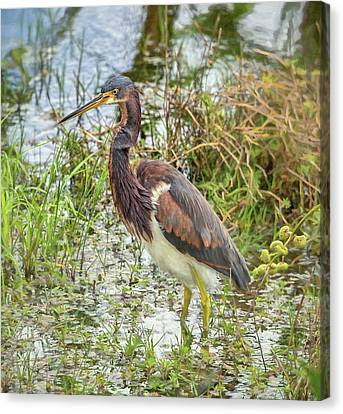 Tri-colored Heron Canvas Print