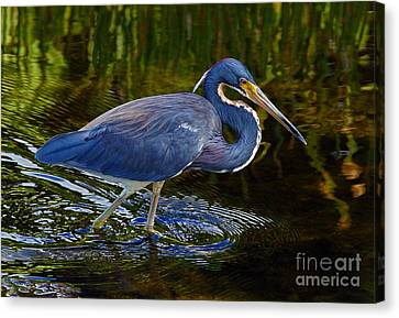 Tricolor Heron Canvas Print by Larry Nieland