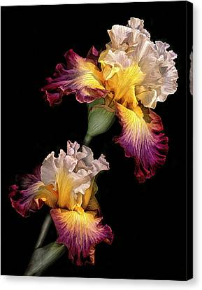 Tricolor Iris Pair Canvas Print by Dave Mills