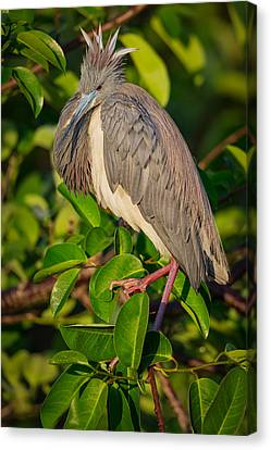 Tricolored At The Venice Rookery Canvas Print by Andres Leon