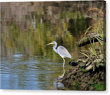 Tricolored Heron Fishing Canvas Print by Al Powell Photography USA