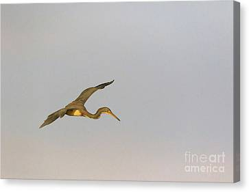 Tricolored Heron In Flight Canvas Print by Louise Heusinkveld