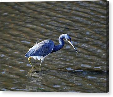 Tricolored Heron Wading Canvas Print