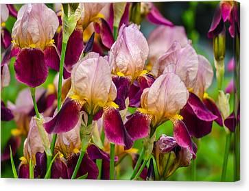 Tricolored Irisses Canvas Print