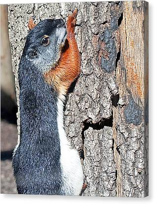 Tricolored Squirrel Canvas Print by Kenneth Albin