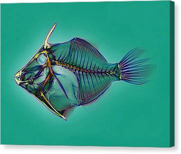Triggerfish Skeleton, X-ray Canvas Print by D. Roberts