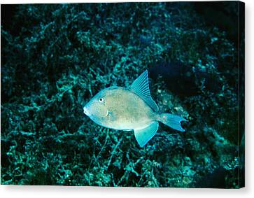 Triggerfish Swimming Over Coral Reef Canvas Print by James Forte