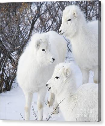 Trio Of Lambs Canvas Print