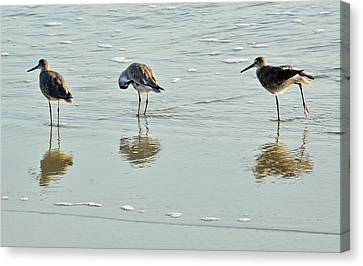 Trio Of Willets On Jekyll Canvas Print by Bruce Gourley