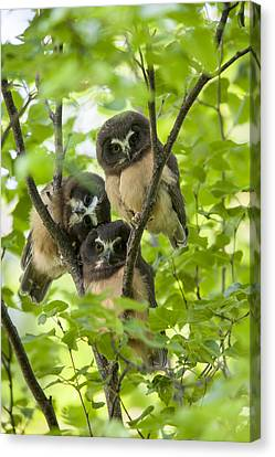 Triple Cute Saw-whet Owls Canvas Print by Tim Grams