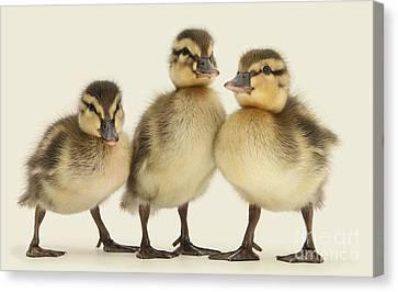 Triple Ducklings Canvas Print