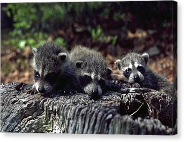 Triplets Canvas Print by Sally Weigand