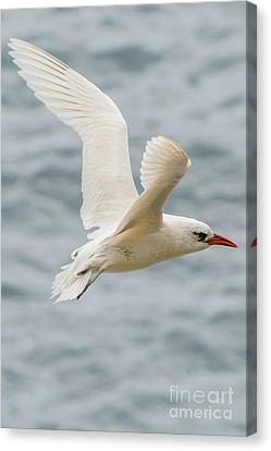 Tropic Bird 2 Canvas Print by Werner Padarin