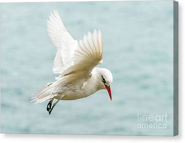 Tropic Bird 4 Canvas Print