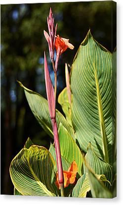 Tropical Beauty - Orange Canna Canvas Print by Connie Fox