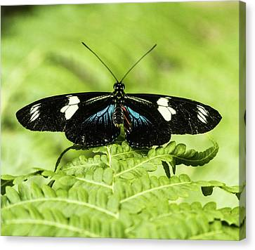 Tropical Buttefly With Wings Spread Canvas Print by Douglas Barnett