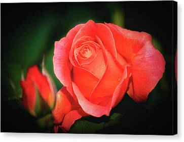 Tropicana Rose Canvas Print by Albert Seger