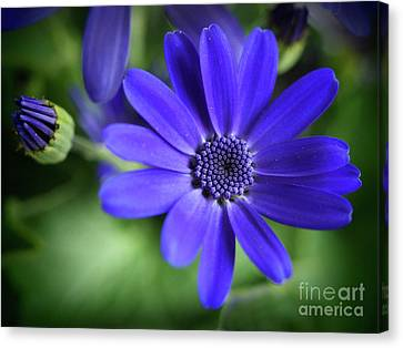 True Blue In The Garden Shadows Canvas Print by Dorothy Lee